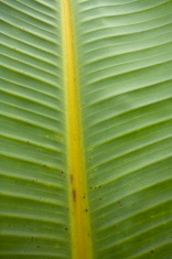 Banana Leaf detail.