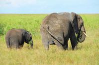 Two Elephants in Serengeti National Park, Tanzania