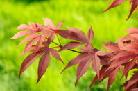 Beautiful Japanese Maple leaves.