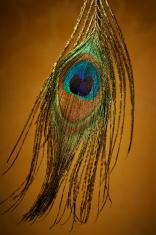 Feather of peacock, the Juno bird