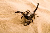 Scorpion on the sand