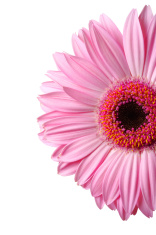 half of Gerbera daisy