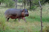 Hippopotamus, Tanzania, Africa.