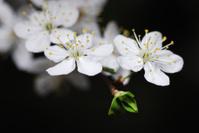 Branch of flowering plum