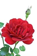 Full-grown red rose