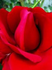 Simply Rose - Red Burgund Rose