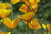 Yellow California golden poppy Eschscholzia californica in UK fi