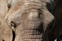 Elephant's head