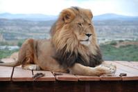 Lion lounging