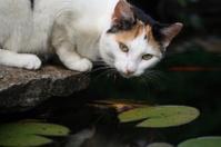 Cat, Goldfish, and Lilypond