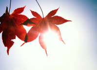 Autumn leaves with sun behind