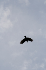 Crow Overhead