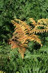 Autumnal fern
