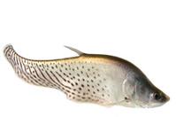 Clown Knife fish