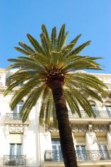 Palm tree Nice