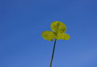 white clover leaves