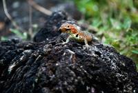 Lava Lizard eating a bug