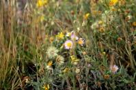 Yellowstone Wildflowers