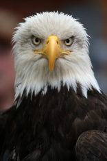Bald Eagle, American National Bird