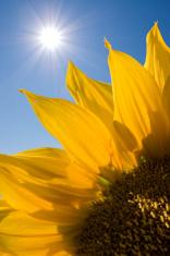Sunflare behind sunflower