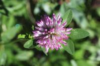 Red clover Trifolium pratense close up top view