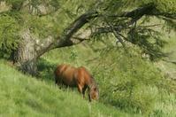 Highland Horse