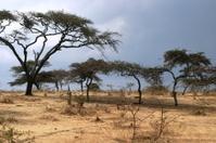 Rwanda Trees