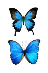 XXL Blue Butterflies