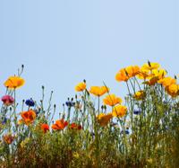 california golden poppy and cornflowers