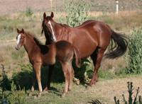 American Quarter Horse and Colt