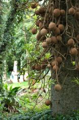 Coconuts in Thailand