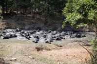 Water buffalos mud bath