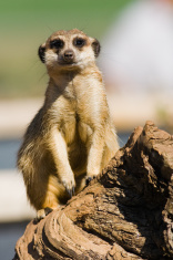 Suricata in the zoo