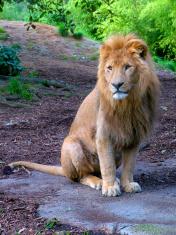 Zoo 2 - Lion