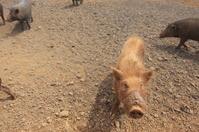 Pig in Hawaii