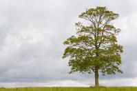 Maple Tree Series