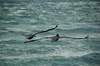 Pelican Mates
