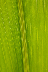 Corn Leaf Close-up Green Background