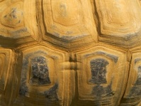 Shell of Aldabran tortoise