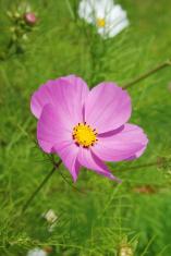 "Pink cosmos bipinnatus ""Sensation"" flower"