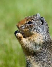 Columbia Ground Squirrel Face