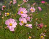Pink Garden Cosmos Flowers (C. bipinnatus)