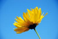 Yellow flower against blue sky