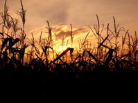 Cornfield at sunset
