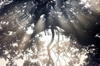 Radiating sunbeams burst through trees misty autumn dawn