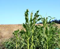 Stalks of Corn