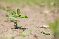 Single soybean plant growing