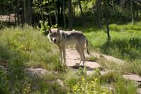 Timberwolf with Back Lighting
