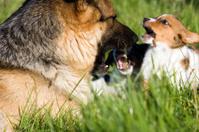 German shepherd mouthing puppy