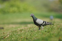 Alone Pigeon